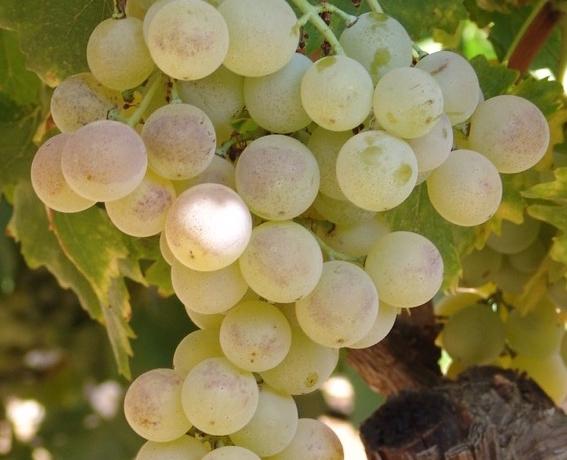 Dafni grape